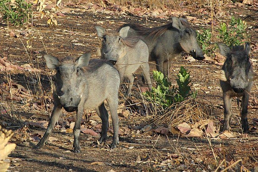 Les Phacosheres du Sénégal