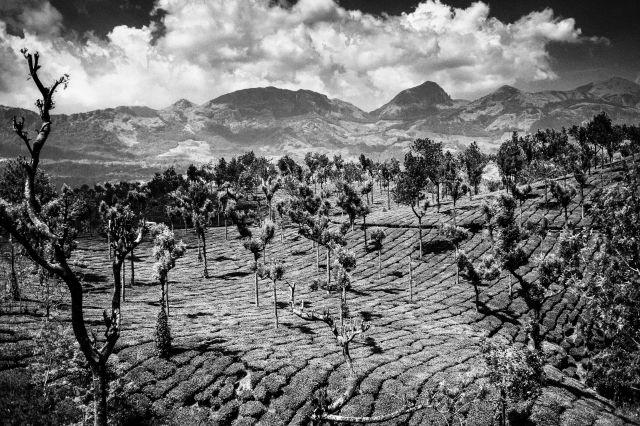 Plantations de thé - Tamil Nadu - Inde du Sud ©Céline Ravier